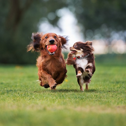 small dogs playing outdoors on turf