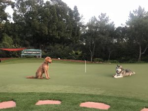 two dogs resting on synthetic putting green lawn