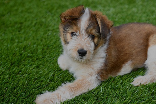 puppy on artificial turf